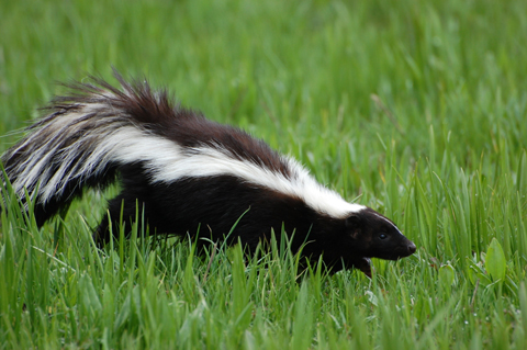 Remove of pest skunks in Toronto.