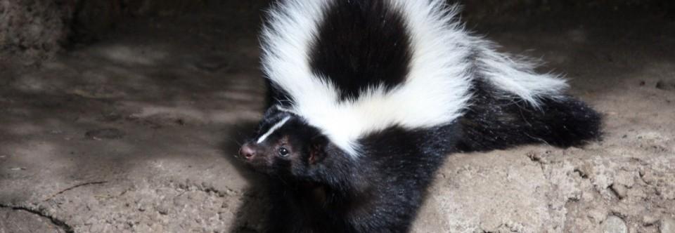 skunk-in-toronto