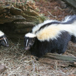 skunk-burrow