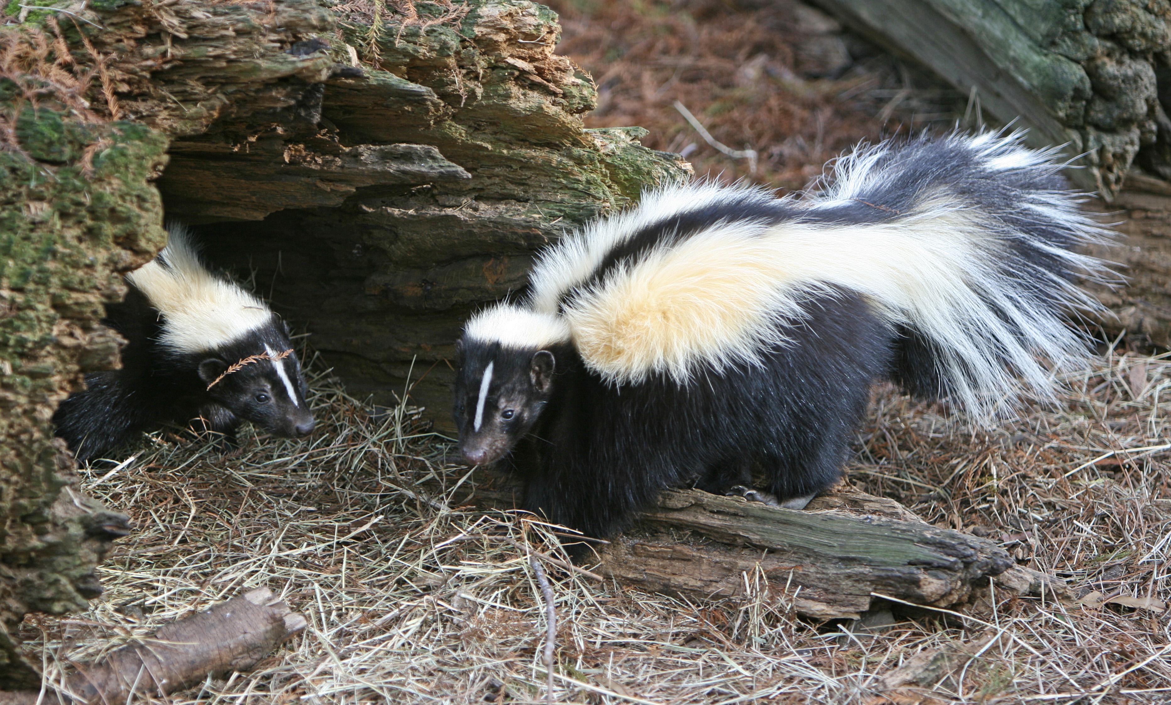 Tips to Keep Skunks Away From Your Home - Skunkremovaltoronto.ca