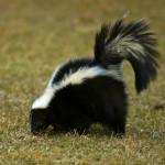 skunk-deterrent
