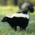 skunk-spraying