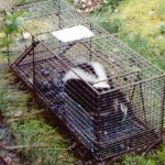 skunk-trap