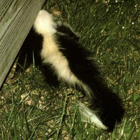 skunk-under-deck