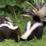 skunks-in-garden