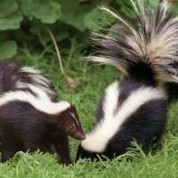 skunks-in-garden