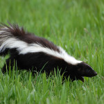Skunk-Walking-Through-Grass