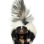 skunk removal toronto