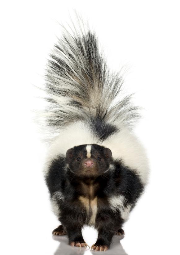 Skunk Removal - When to Call for Professional Help - Skunkremovaltoronto.ca