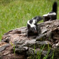 skunks control