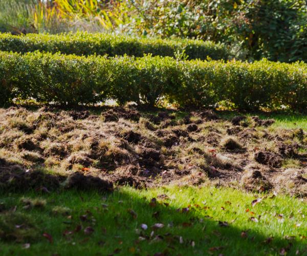 Skunk Damage Lawn